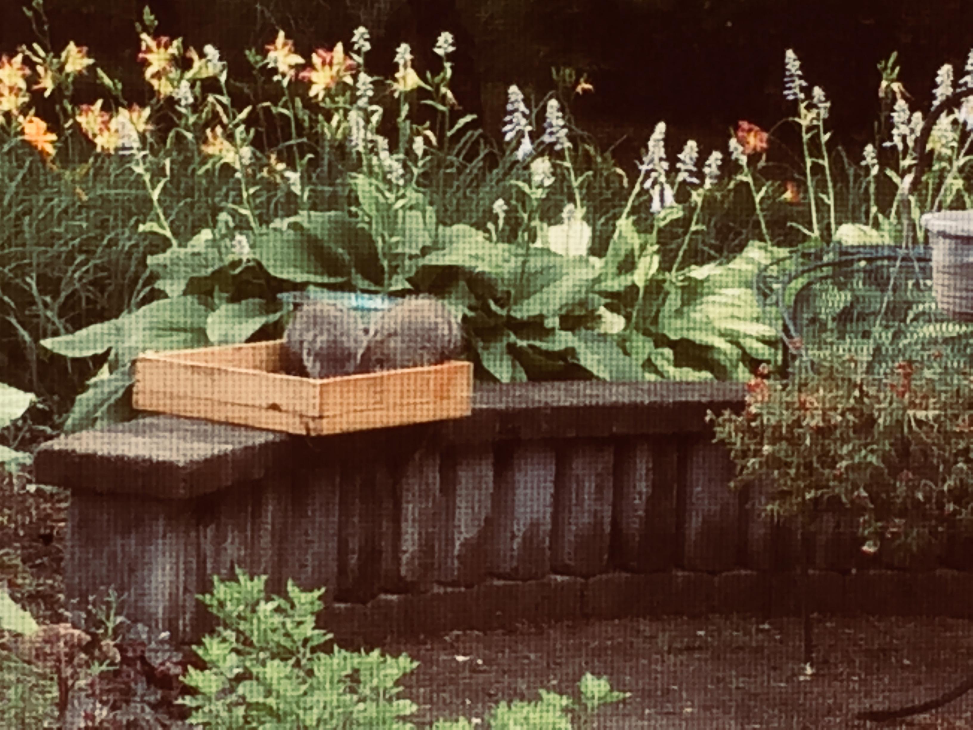 Groundhogs at Gardens of Effingham